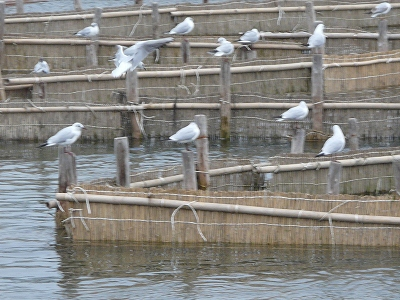 室見川の春の風物詩の白魚のヤナ掛けです。ユリカモメは福岡市の市鳥です。